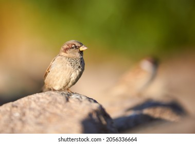 Birds and animals in wildlife. Awesome view of brown sparrow, amazing feathers at autumn day, copy spase. Stunning wild nature picture of funny brown sparrow, bush background, closeup perspective