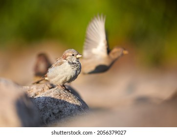 Birds and animals in wildlife. Awesome view of brown sparrow, amazing feathers at autumn day. Stunning wild nature picture of funny flying brown sparrow, bush and stone background, closeup perspective