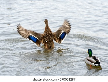 Birds and animals in wildlife. Beautiful duck flapping the wings in water of pond or river.