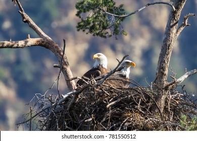Birds bald eagle nest in the Los Angeles foothills