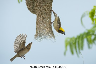 Birds are building nests, Baya Weaver