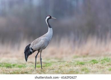 Birds - Common crane (Grus grus)