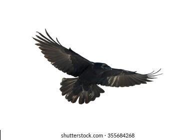 Birds - Common Raven (Corvus corax) isolated on white background