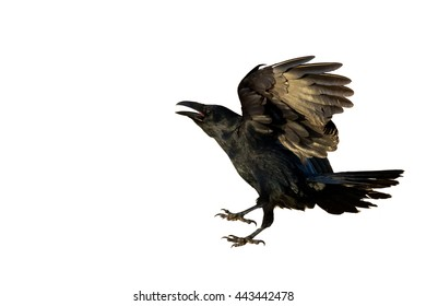 Birds - Common Raven (Corvus corax) isolated on white background. Halloween
