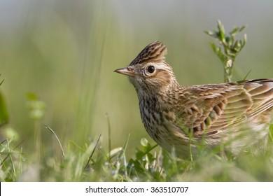 Birds - Common Skylark (Alauda arvensis)