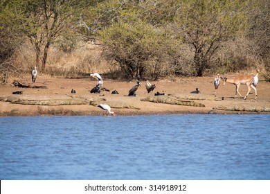 Birds and crocodiles on the bank of a dam with impala approaching