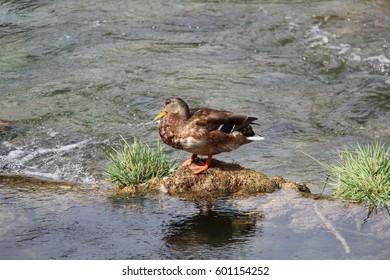 Birds / Ducks on the river