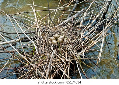 bird's eggs in the nest on amongst water thickets