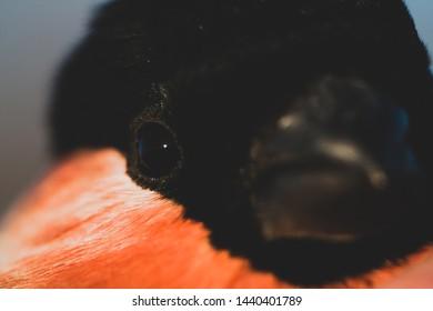Birds of Europe and World, Portrait of the Bullfinch Pyrrhula pyrrhula closeup