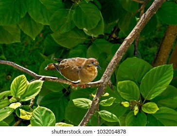 Bird's eye view of a brown dove roosting on a branch