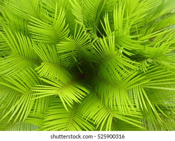 A bird's eye view of a tropical cycad plant showing the geometric patterns at its centre.