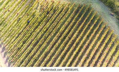bird's eye view of a vineyard in southern Italy during the harvest of aglianico in basilicata region