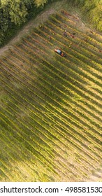 bird's eye view of a vineyard in southern Italy during the harvest in basilicata region