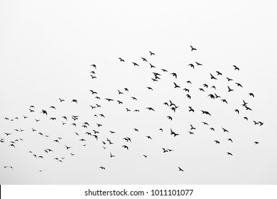 Birds in flight, freedom. Silhouette. Flock of birds.
