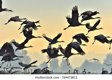 Birds in flight. A silhouettes of cranes in flight. Flock of cranes flies at sunrise. Foggy morning, Sunrise sky  background. Common Crane, Grus grus or Grus Communis, big bird in the natural habitat.