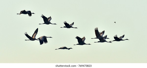 Birds in flight. A silhouettes of cranes in flight. Flock of cranes flies at sunset. Foggy morning, Sunrise sky  background. Common Crane, Grus grus or Grus Communis, big bird in the natural habitat.