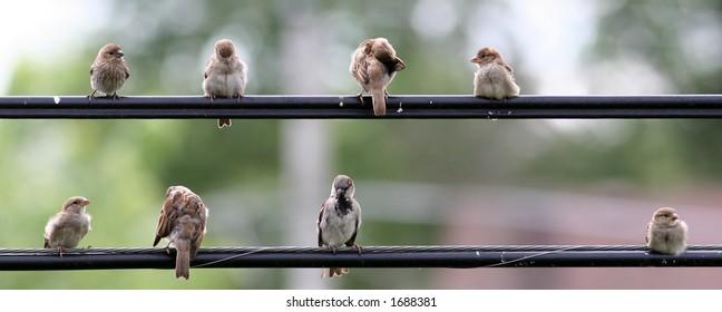 Birds flocking on a utility wire
