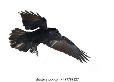 Birds - flying Common Raven (Corvus corax) isolated on white background. Halloween