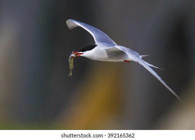 birds flying Common Tern / Sterna hirundo