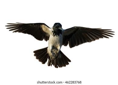 Birds - flying Hooded Crow (Corvus cornix) isolated on white background