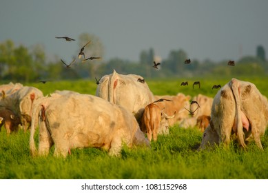 Birds flying over the cows