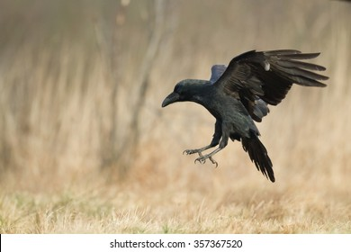 Birds - Flying Raven (Corvus corax)