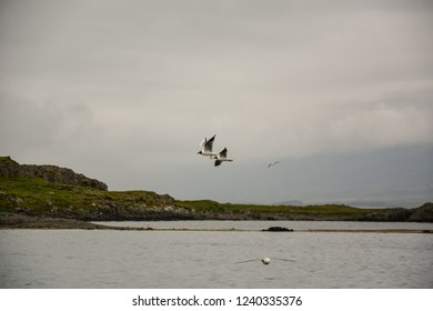 Birds flying in sky with wings wide open on overcast cloudy summer day in Iceland, copy space.