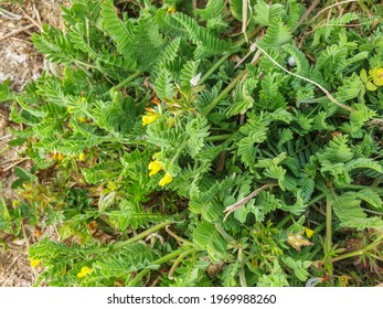 Bird's foot plant, Ornithopus compressus, growing in meadows of Galicia, Spain