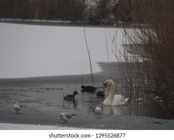 Birds in a frozen pond in the winter. There is a swan, some seagulls, a coot and a grebe
