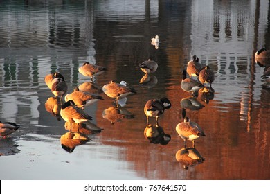 Birds and Geese in pond with reflection from water.