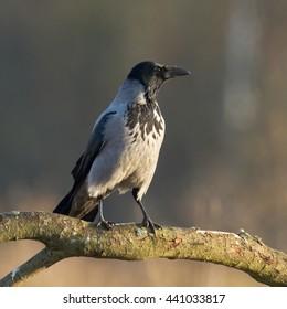 Birds - Hooded Crow (Corvus cornix)