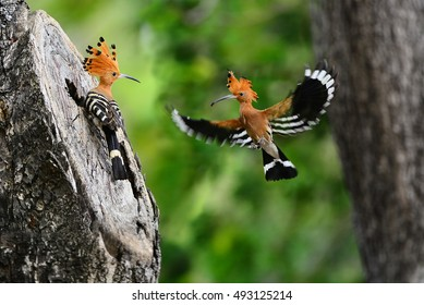 Birds - Hoopoe (Upupa epos) Wait for eat insects from the male.