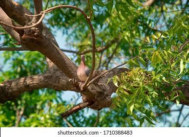 Birds Of India. Senegal turtle dove (Streptopelia senegalensis) in the grove