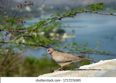 Birds Of India. Senegal turtle dove (Streptopelia senegalensis) on the river embankment against the background of acacia branches