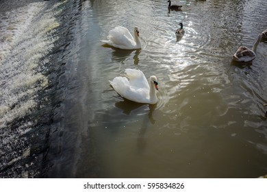 Birds in a lake in a park, Swans, Ducks, Geese.