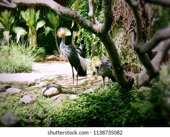 Birds With Long Legs Grey Crowned Crane in the Garden Animals at Gianyar Bali, Indonesia