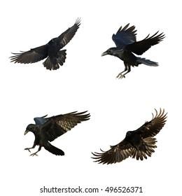 Birds - mix flying Common Ravens (Corvus corax) isolated on white background. Halloween - mix four birds