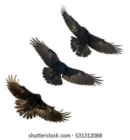 Birds - mix flying Common Ravens (Corvus corax) isolated on white background. Halloween - mix three birds