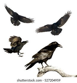 Birds - mix flying and perched Common Ravens (Corvus corax) isolated on white background. Halloween - mix four birds