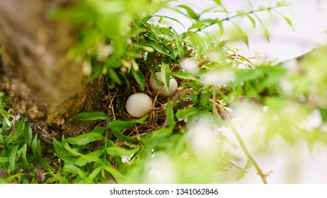 Bird's nest and bird eggs on the tree.Spawn