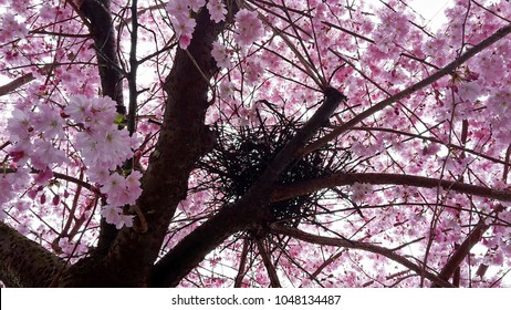 A bird's nest in a cherry tree, blooms in full blossom. The most beautiful, pink home anyone could have.