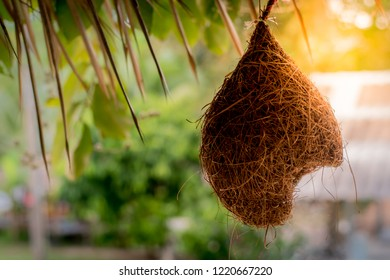Bird's Nest features narrow entrance found with bird in South East Asia. Nest made from dry grass. Birds will nest of hay piece by piece.