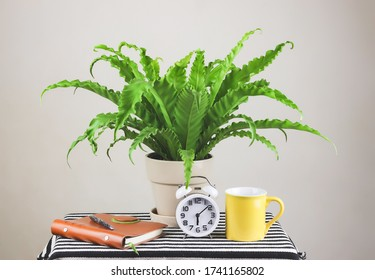 Bird's Nest Fern or Asplenium antiguum  in plant pot with , vintage alarm clock , notebook  and yellow coffee cup on table with  white background.gardening , morning routine