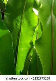 bird's nest fern backgrounds