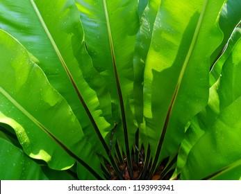 bird's nest fern with dew drop