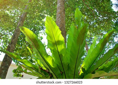 Bird's nest fern on the tree. Back side of fern leaves.  Bird's nest fern on tall tree in vertical view