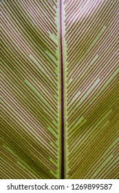Bird's nest fern,Close up at leaf detail