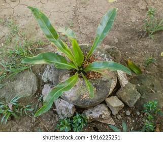 Bird's Nest Ferns planted in the frontyard