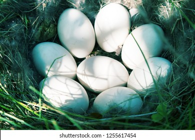 Bird's nest guide. The Widgeon (Anas penelope) duck's nest with eight eggs in the meadow. The initial stage of incubation. Lake Ladoga in North-Western Russia