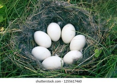 Bird's nest guide. The Widgeon (Anas penelope) duck's nest with eight eggs